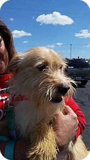 Norfolk Terrier Mix Dog for adoption in Hopkinsville, Kentucky - Sonny