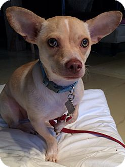 Chihuahua Mix Puppy for adoption in Simsbury, Connecticut - Moses - B - ADOPTION PENDING