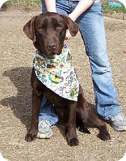 Labrador Retriever Mix Dog for adoption in Lafayette, Louisiana - MoJo
