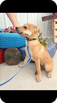 Golden Retriever/Shepherd (Unknown Type) Mix Puppy for adoption in Woodward, Oklahoma - Murphy