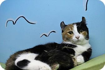 American Curl Cat for adoption in West Des Moines, Iowa - Pie