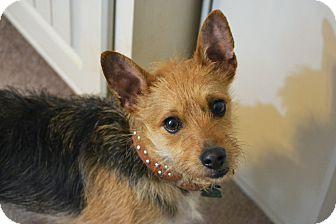 Australian Terrier/Yorkie, Yorkshire Terrier Mix Dog for adoption in Southington, Connecticut - Otis