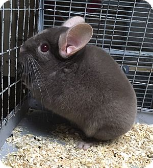 Chinchilla for adoption in Hammond, Indiana - 8m dark tan male chinchilla