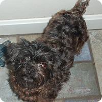 Adopt A Pet :: Sheba ~ Adoption Pending - Youngstown, OH