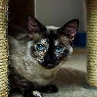 Adopt A Pet :: Vacaville - Sugar - Napa, CA