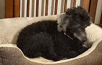 Toy Poodle Dog for adoption in Cary, North Carolina - Spice