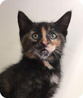 Domestic Shorthair Kitten for adoption in Meridian, Idaho - Zinnia