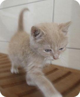 Domestic Shorthair Kitten for adoption in North Richland Hills, Texas - Edison