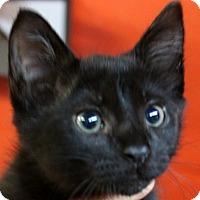 Domestic Shorthair Kitten for adoption in Sarasota, Florida - Braeden