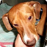 Adopt A Pet :: Gilligan - Lakeland, FL