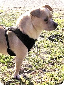 Terrier (Unknown Type, Small)/Chihuahua Mix Dog for adoption in Kirkland, Washington - Cookito—A Real Cuddlebug!