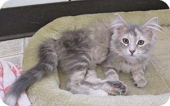 Domestic Longhair Kitten for adoption in Reeds Spring, Missouri - Roma