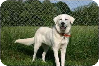 Great Pyrenees Dog for adoption in Muldrow, Oklahoma - Flora