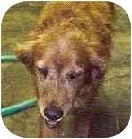 Labrador Retriever Mix Dog for adoption in Evergreen, Colorado - Garrett