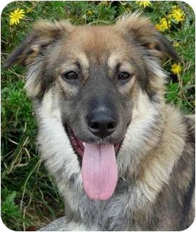 German Shepherd Dog/Australian Shepherd Mix Puppy for adoption in Los Angeles, California - Lila von Lindberg