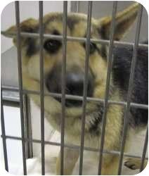 German Shepherd Dog Mix Dog for adoption in Olathe, Kansas - Peony