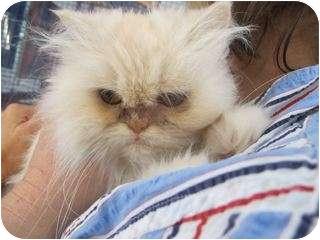 Persian Kitten for adoption in Davis, California - Baby Moon