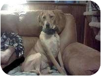 Coonhound (Unknown Type)/Retriever (Unknown Type) Mix Dog for adoption in Troy, Michigan - Skeeter