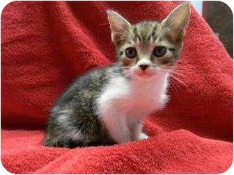 Domestic Shorthair Kitten for adoption in Gainesville, Florida - Calypso