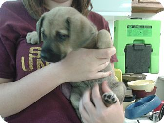 Shepherd (Unknown Type) Mix Puppy for adoption in Waldorf, Maryland - Laurie