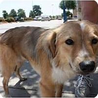 Adopt A Pet :: Chuy - Arlington, TX