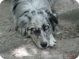 Australian Shepherd Dog for adoption in Jesup, Georgia - Delilah