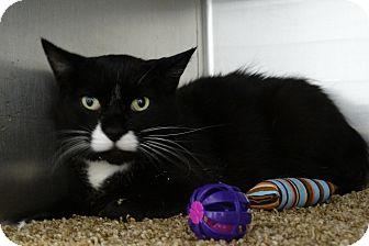 American Shorthair Cat for adoption in Elyria, Ohio - Barney