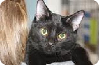 Domestic Shorthair Cat for adoption in Mt. Pleasant, Michigan - Chino