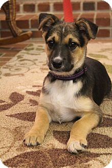 Jack Russell Terrier/German Shepherd Dog Mix Puppy for adoption in Hagerstown, Maryland - Ebbie