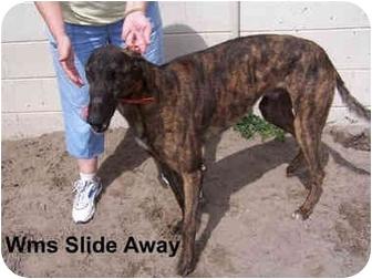 Greyhound Dog for adoption in Lexington, South Carolina - Slide Away