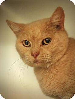 Domestic Shorthair Cat for adoption in Parma, Ohio - Blondie