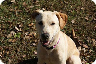 Labrador Retriever Mix Puppy for adoption in Bowie, Maryland - Mali (Malley)