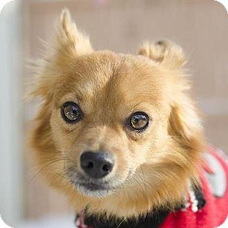 Pomeranian Mix Dog for adoption in Adrian, Michigan - Foxy