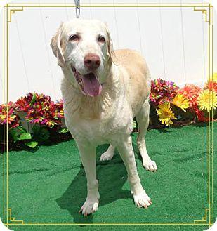 Labrador Retriever Dog for adoption in Marietta, Georgia - CALVIN