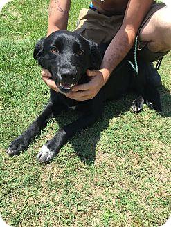 Labrador Retriever/Flat-Coated Retriever Mix Dog for adoption in Sagaponack, New York - Maisy
