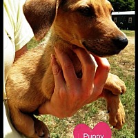 Beagle/Redbone Coonhound Mix Dog for adoption in Pipe Creek, Texas - Drew