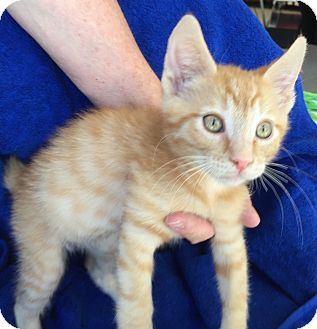 Domestic Shorthair Kitten for adoption in Meridian, Idaho - Taffy