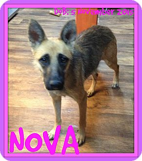 German Shepherd Dog Dog for adoption in Jersey City, New Jersey - NOVA