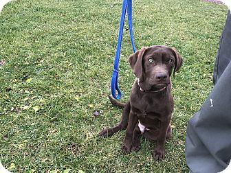 Labrador Retriever Puppy for adoption in Pottsville, Pennsylvania - Baron