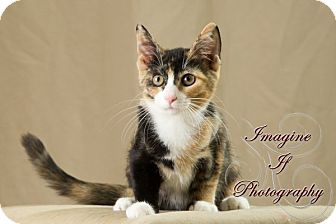 Domestic Shorthair Cat for adoption in Oklahoma City, Oklahoma - Frannie