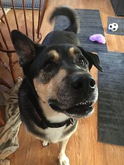 Alaskan Malamute/Shepherd (Unknown Type) Mix Dog for adoption in Mt Prospect, Illinois - Beasty Boy