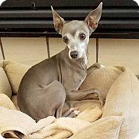 Adopt A Pet :: STELLA - Hurricane, UT
