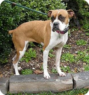 Boxer Dog for adoption in Houston, Texas - PIPER