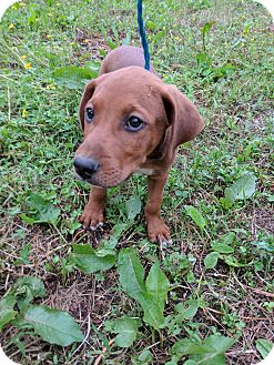 Hound (Unknown Type)/Boxer Mix Puppy for adoption in Goodlettsville, Tennessee - Mason