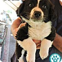 Adopt A Pet :: Amando - Kimberton, PA