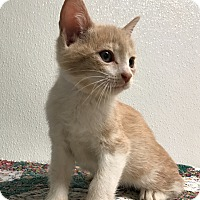 Adopt A Pet :: Torani - Hendersonville, NC