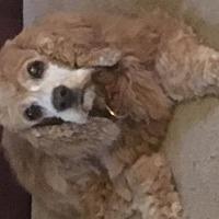 Adopt A Pet :: Brandi - Norman, OK