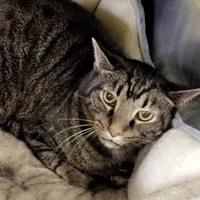 Domestic Shorthair/Domestic Shorthair Mix Cat for adoption in Greenville, Kentucky - Buddy