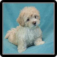 Adopt A Pet :: Macaroon - San Diego, CA