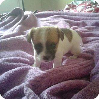 Shih Tzu/Chihuahua Mix Puppy for adoption in Antioch, California - Toby